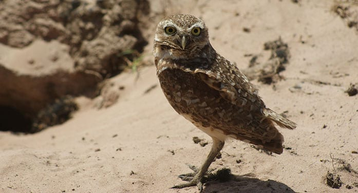 burrowing owl nature birds wildlife